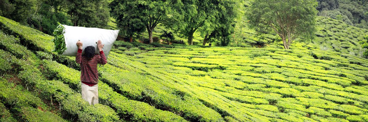 Tea_Plantation_Darjeeling_214111.jpg